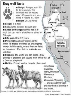 Gray Wolf Habitat | Gray Wolf Facts. Chronicle Graphic by John Blanchard