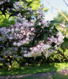Schnellwachsende b ume und str ucher rasante for Schnellwachsende pflanzen
