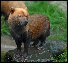 Bush Dog. The bush dog is one of the rarest canid species on Earth. Even though it has a wide range, spanning from Panama through Brazil & Bolivia, it is hardly ever spotted in the wild. They have webbed feet which make them great swimmers and they live in packs of up to ten individuals.