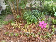 New plot in front of my crepe myrtle - daylilies, mint and impatiens. 5/27/15.