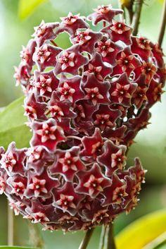 White Wax Plant | Hoya carnosa, the wax plant