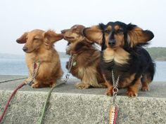 Wind Blowin Through Their Ears:) Dachshund darlin' Animals And Pets, Baby Animals, Funny Animals, Cute Animals, Love My Dog, Long Haired Dachshund, Dachshund Love, Daschund, Cute Puppies