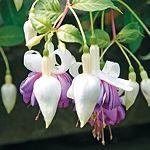 Fuchsie dělají od jara do podzimu radost množstvím nádherných květů bez velkých nároků. Avšak úspěšně přezimovat tyto rostlinné krásky je umění. Container Gardening, Flowers, Plants, Balcony, Florals, Balconies, Planters, Flower, Blossoms