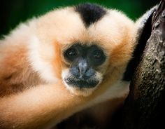 See?  Even gibbons are redheads.  :D