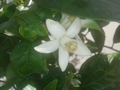 flor del limonero