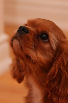 Cavalier King Charles Spaniel  #dogs #pets #ShermanFinancialGroup