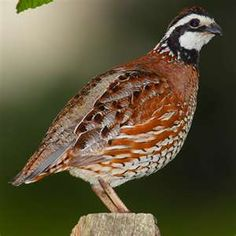 Northern Bobwhite Quail. Just saw one in my back yard the other day. Super cute.