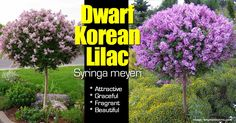 Image result for Dwarf Korean Lilac