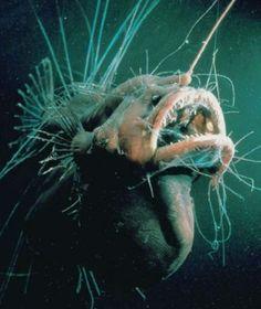 Ein Tiefsee-Anglerfisch lauert auf Beute