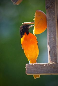 "Attract one of nature's most colorful birds, the <strong><span style=""color: #ff0000;"">Baltimore Oriole</span></strong> to your yard. We have one of these feeders hanging on our front deck and often stand in the doorway, only ten feet away, to marvel at these beautiful birds. Other birds will also partake of the sweet offering, and the Orioles are not territorial so you may have several pairs..."