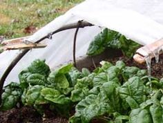 Winter spinach growing tips from the article Growing Winter spinach by growveg.com