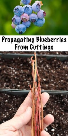 Propagating Blueberries from Cuttings ~ Buying blueberry plants from a nursery can be expensive, but with a little patience you can propagate your own blueberry plants from cuttings and grow a huge blueberry patch for a fraction of the cost. Blueberry Plant, Propagating Plants, Planting Herbs, Blueberry Gardening, Plants, Apple Tree From Seed, Fruit Trees, Edible Garden, Organic Gardening