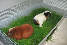 DIY Wheatgrass tub for guinea pigs! -CHEAP- cool to have in the winter and summer! Guinea Pig House, Pet Guinea Pigs, Guinea Pig Care, Guinea Pig Food, Diy Guinea Pig Toys, Diy Guinea Pig Cage, Hamsters, Rodents, Chinchillas
