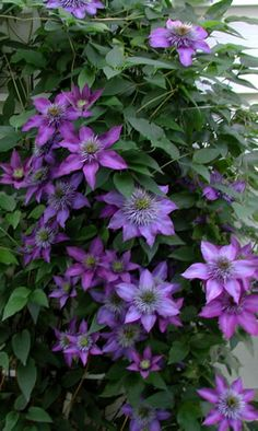 Clematis multiblue I remember when we had flowers like this in my back yard I don't know when that is going to happen again !