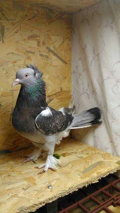 High Flying Pigeons, Tumbler Pigeons, Pigeon Bird, Birds, Fancy, Animals, Pigeon, Animales, Animaux