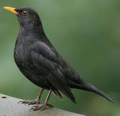 Merel/ Blackbird People like him most for his whistling. Animals And Pets, Cute Animals, Garden Animals, Kinds Of Birds, Bird Pictures, Colorful Birds, Fauna, Wild Birds, Beautiful Birds