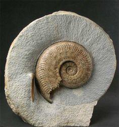 Ammonite. Harpoceras pseudoserpentinum