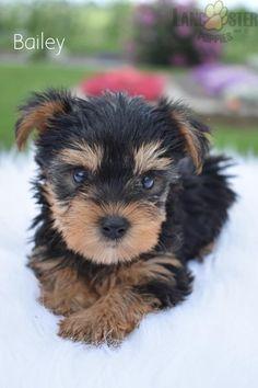 #YorkshireTerrier #Yorkie #Charming #PinterestPuppies #PuppiesOfPinterest #Puppy #Puppies #Pups #Pup #Funloving #Sweet #PuppyLove #Cute #Cuddly #Adorable #ForTheLoveOfADog #MansBestFriend #Animals #Dog #Pet #Pets #ChildrenFriendly #PuppyandChildren #ChildandPuppy #BuckeyePuppies www.BuckeyePuppies.com