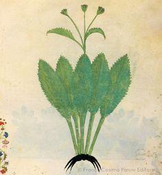 """CONSIGLI DAL MEDIOEVO: IL MORSO DEL DIAVOLO - """"Il morso del diavolo è un'erba che, tritata, agglutina le grandi ferite, reprime qualsiasi gonfiore e viene in soccorso ai sofferenti di fuoco sacro. Ha il fiore purpureo e la sua radice si presenta sempre corrosa e nerastra. Alcuni dicono che il diavolo, avendo molta invidia per l'efficacia di questa erba, rode le sue radici, donde viene chiamata morso del diavolo"""". Dal codice """"Historia Plantarum"""", fine XIV secolo."""