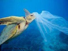 Endangered Sea Turtles Eat More Plastic Than Ever #Turtle #Plastic