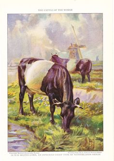 1925 Animal Print Dutch Belted Cows Vintage Antique by Holcroft