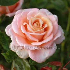 Amoretto :- Extremely fragrant, Old English style bloom with over 100 petals.