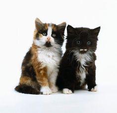 Long-haired Kittens