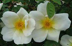 Nevada est un grand arbuste de 1,80 m, au port souple. Il faut le tailler peu pour le laisser s'étaler. Le bois rouge est peu épineux.  Les fleurs sont de grandes églantines blanches avec un coeur et des étamines jaunes qui apparaissent sur toute la longueur des rameaux. Le pied étant assez dégarni, il faut l'habiller par exemple avec des feuillages gris (stachys lanata, armoises...). La remontée est capricieuse. Hybride de Moyesi.1927.