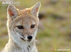 Pampus Fox (Pseudalopex gymnocercus)
