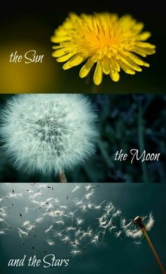 I used to cook a 'mess' of dandelion greens for a side dish. So good for you… I used to cook a 'mess' of dandelion greens for a side dish. So good for you! Dandelion Quotes, Dandelion Art, Dandelion Wish, Dandelion Pictures, Dandelion Wallpaper, Beautiful Flowers, Beautiful Pictures, Image Deco, Garden Quotes