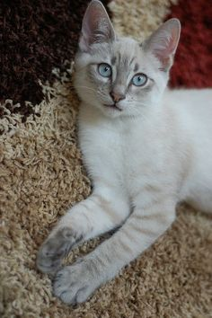 Lynx point kitten with Gorgeous blue Eyes!