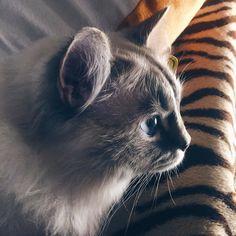 i love you  #mozzie #mozziecat #moaw #mao #kitty #kittycat #kittylove #cat #catsofinstagram #cats #catstagram #catlover #catoftheday #catlovers #kitten #kittens #kittensofinstagram #ragdoll #ragdollcat #ragdollsofinstagram #ragdolls #ragdollkitten #ragdollcats #gatto #gatti #gattino #gattini #catoftheday by mozzie_fede http://www.australiaunwrapped.com/