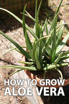 Every house should have an aloe vera plant if you ask me. There is no other plant that will give you so much for so little care! In this post, we'll talk about everything that you need to know about growing aloe vera… Where you can get an aloe vera plant, how to plant aloe vera, care for the plant, how to harvest, and how to use it. Herb Garden Design, Diy Herb Garden, Garden Ideas, Best Nutrition Food, Health And Nutrition, Nutrition Articles, Proper Nutrition, Nutrition Guide, Plants
