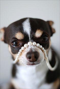 Chihuahua et perles! Un mélange chic!