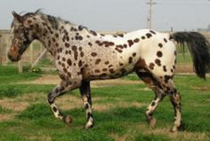 Chocolate Confetti, confetti farms, sport horse, jumper, dressage, Appaloosa,