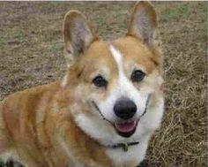 Corgi Nation helps in hunt for lost dog