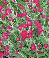 Abbotswood Rose Hybrid Lychnis Seeds and Plants, Perennnial Flowers at Burpee.com    Would be great along our front walk.