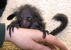 The aye-aye is a kind of lemur, with large round ears that rotate independently. The aye-aye feeds using its long middle finger to scoop out grubs in tree bark. See it in Madagascar (and the Bristol Zoo Gardens). (Courtesy Bristol Zoo Gardens) From: 14 Weird Animals You Can Travel to See
