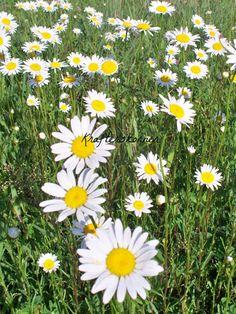 4 x 6 Photo Print Field of Daisies White Flowers by krafterskorner, $1.99