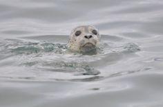 Harbor seal by skeeze via Pixabay CC0 Public Domain