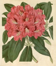 Rhododendron arboreum. Curtis's botanical magazine v.62 [new ser.:v.9] (1835) London ;New York [etc.] :Academic Press [etc.] Biodiversitylibrary. Biodivlibrary. BHL. Biodiversity Heritage Library