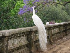 White Peacock,Botanical Gardens Lisbon,Portugal Courtesy / Room With A View Pavo Real Albino, Albino Peacock, Beautiful Birds, Beautiful World, Animals Beautiful, Cute Animals, Simply Beautiful, Unusual Animals, Absolutely Stunning