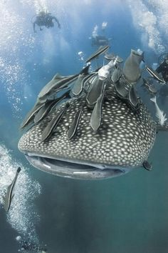Whale Shark. Those look like giant otocinclus fish on the whale shark, which kinda freaks me out in a way
