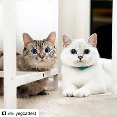 #Repost @yegcatfest with @get_repost  We've got another exciting a-meowncement to make!! This year we'll be flying in CELEBRITY CATS @nala_cat and @white_coffee_cat to do meet & greets / photo ops with Edmonton International Cat Festival attendees!!  Nala is the world's most POPULAR cat on Instagram (with 3.5 MILLION followers and millions more on Facebook!) and was with us at our 2016 festival. She will be returning to Edmonton for our May 26 2018 event this time with her sweet brother…