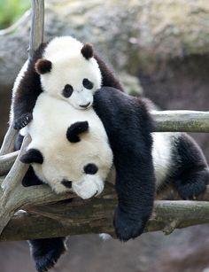 Niedlicher Panda, Panda Love, Cute Panda, Happy Panda, The Animals, My Animal, Cute Baby Animals, Wild Animals, Photo Panda