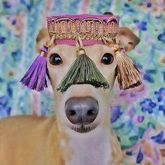 Vivienne.  Italian Greyhound