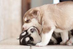 i want two huskies to name sherlock & watson