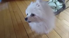 Gabe the Dog - Doggokhiin Animal Species, What Is Love, Best Funny Pictures, Corgi, Cosplay, Memes, Cute, Animals, Random Things