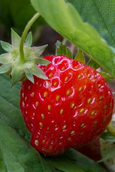 July 8, 2014 I am so enjoying the strawberries this year. I have been eating them on my salads.
