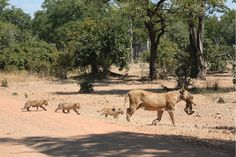 Lion cubs abound in South Luangwa in these too-cute-for-words photos of a proud mother and her new family.